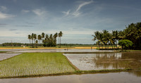 Rice paddies being prepared.
