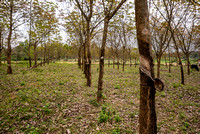 Young rubber tree plantation.