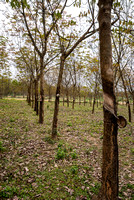 Line of rubber trees at young plantation.