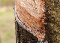 Incision in the bark.