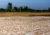 Binh Thuan: drying slices of tapioca in the sun.