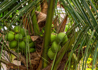 Young coconuts on the tree.