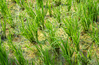 Focus on young rice plants in the paddy.