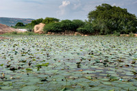 The sacred pond is covered with water lilies.