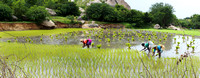 Standing and moving swiftly through the paddy, these women plant young rice stalks.