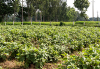 Field with eggplant-plants.