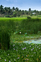 Pond with reed and water lilies.