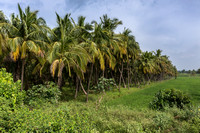 Palm grove and rice paddy.