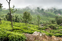 Tea plantation seen from up the hill.