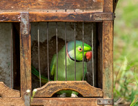 One of the two parrots in the cage.