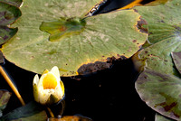 Yellow white water lilly and leaves floating on water in Agra, India.
