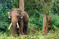 Tamed elephant owned by forest tribe.