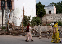 Cows and trash along the streets of Agra, India.