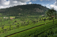 View on the tea fields.