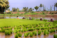 Men collecting young rice plants in bundles.