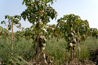 Papaya plantation.