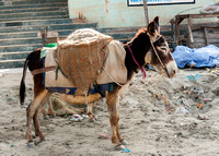 Donkey carrying baskets of sand on a construction site.