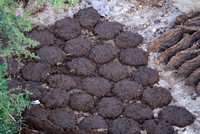 Fresh made dung-cakes drying in the open air.