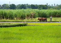 Man steers buffaloes to flatten the rice paddy.