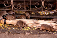Find the food among the filth at Deshnoke's Rat temple.