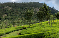 View on the tea fields. Crew is harvesting.
