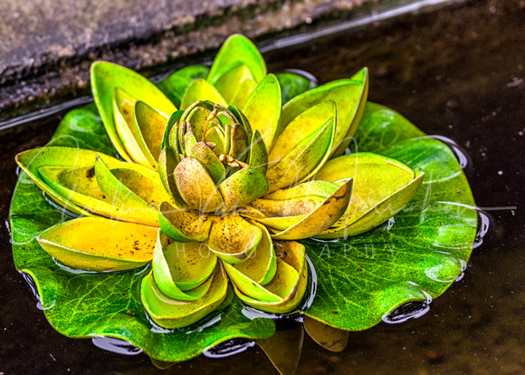 VIETNAM: Lotus on water at the Ngoc Son temple.