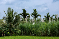 Four crops in one photo: rice, banana, sugar cane, coconut in Senapathihalli village.