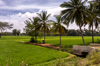 Rice field and palm trees and watering system.