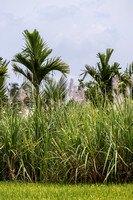 Rice, cane sugar and coconut on field in one photo, Senapathihalli,