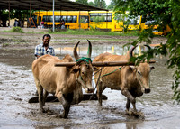 Adjacent to a school, a farmer works his rice paddy with the help of two buffaloes.