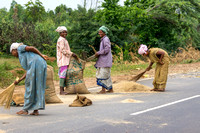 Millet, threshed by traffic, is collected in bags by these women.