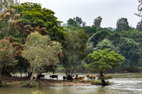Gathering of cows on a river island.