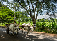 Some oxen carts find their way home all by themselves.