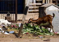 Goats clean up the veggie trash.