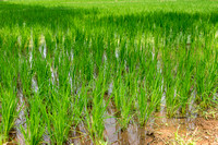 A healthy paddy with young rice plants.
